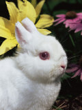 Netherland Dwarf Domestic Rabbit  USA