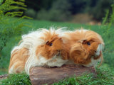 Domestic Peruvian Guinea Pigs (Cavia Porcellus) Europe