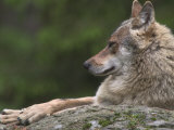 European / Grey Wolf  Resting on Boulder in Forest  Bavarian Forest  Germany