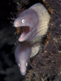 Pair of Grey Faced Moray Eels  Indo-Pacific