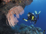 Diver Examines Coral Reef  Great Barrier Reef  Australia
