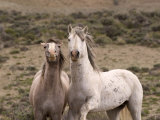Mustang / Wild Horse  Grey Stallion and Filly  Wyoming  USA Adobe Town Hma