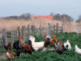 Chickens  Domestic Fowl  Rooster and Hens  Netherlands