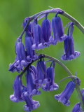 Bluebell Flower  UK