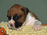 Boxer Puppy  USA