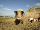 Free Range Organic Sow and Piglets  Wiltshire  UK