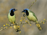 Green Jay Pair  Texas  USA