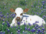 Domestic Texas Longhorn Calf  in Lupin Meadow  Texas  USA