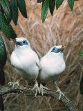 Rothschild's / Bali Mynah Birds (Leucopsar Rothschildi)