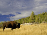 Bison (Bison Bison) Yellowstone National Park  Wyoming  USA