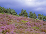 Pine Woodland and Heather  Abernethy RSPB Reserve  Cairngorms National Park  Scotland  UK