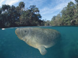 Dwest Indian Manatee  Split Level  Homosassa River  Florida  USA