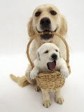 Domestic Dog (Canis Familiaris) Carrying Puppy in Basket