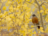 American Robin  Male in Aspen Tree  Grand Teton National Park  Wyoming  USA