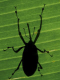 Weevil Silhouette Through Leaf  Sulawesi  Indonesia