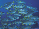 Schooling Lined Sweetlips  Great Barrier Reef  Australia