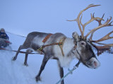 Reindeer Pulling Sledge  Stora Sjofallet National Park  Lapland  Sweden