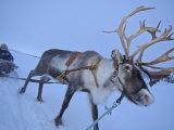 Reindeer Pulling Sledge  Stora Sjofallet National Park  Lapland  Sweden