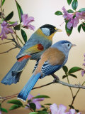 Silver-Eared Mesias (Leiothrix Argentauris)  from Asia