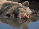 Domestic Pig Wallowing in Mud  USA