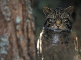 Wild Cat in Pine Forest  Cairngorms National Park  Scotland  UK