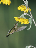 Ruby Throated Hummingbird  Female Feeds at Sunflower  Texas  USA