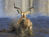 Black Faced Impala  Running Through Water  Namibia