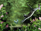 Domestic Cat Leaping at Coal Tit on Bird Bath