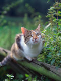 Domestic Cat Watching for Birds  Europe  Looking Up