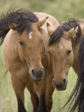 Mustang / Wild Horse Mare and Stallion Bothered by Flies in Summer  Montana  USA Pryor