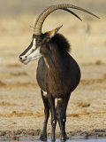 Sable Antelope  Male at Drinking Hole  Namibia