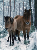 Domestic Horse  Dulmen Ponies  Mare with Foal in Winter  Europe