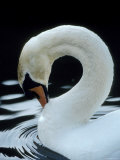 Mute Swan Male Preening  UK