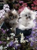 7-Weeks  Gold-Shaded and Silver-Shaded Persian Kittens in Watering Can Surrounded by Flowers