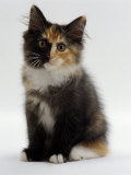 Domestic Cat  9-Week Non-Pedigree Longhair Tortoiseshell-And-White Kitten