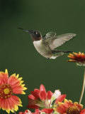 Ruby Throated Hummingbird  Male Flying  Texas  USA