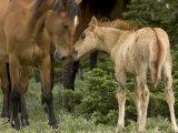 Mustang / Wild Horse Filly Nosing Stallion  Montana  USA Pryor Mountains Hma