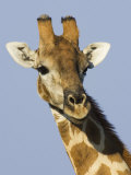 Giraffe  Male Head Portrait  Namibia
