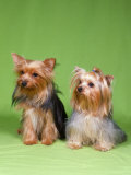 Dogs  Two Yorkshire Terriers