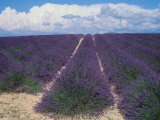 Lavender Field in Flower  Provence  France (Lavendula Angustifolia)