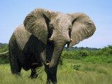 African Elephant Grazing  Chobe National Park Botswana