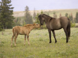 Mustang / Wild Horse Filly Touching Nose of Mare from Another Band  Montana  USA