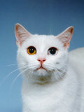 Domestic Cat  Odd-Eyed