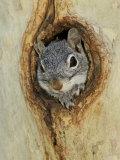 Arizona Grey Squirrel, Ilooking out of Hole in Sycamore Tree, Arizona, USA Papier Photo par Rolf Nussbaumer