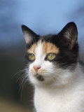 Domestic Cat Portrait  Europe