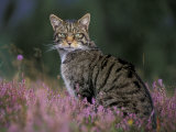 Wild Cat Portrait Amongst Heather  Cairngorms National Park  Scotland  UK