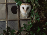 Barn Owl  Peering out of Broken Window  UK