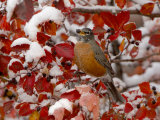 American Robin  Female Feeding in Black Hawthorn  Grand Teton National Park  Wyoming  USA