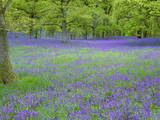 Bluebells Flowering in Beech Wood Perthshire  Scotland  UK