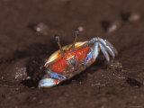 Fiddler Crab  Busuanga Island  Philippines